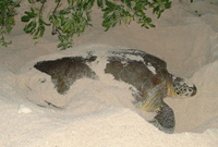 This turtle is digging a pit and chamber to store her eggs.(Photo by Mark Orr)