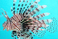 The Indo-Pacific red lionfish.