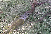 A Cayman Racer snake (Alsophis cantherigerus caymanus) eating a green iguana (Iguana iguana) (Photo by James Robinson)
