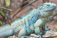 Grand Cayman Blue Iguana photo by John F Binns.