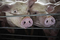 More than 300 local swine have already been tested.