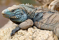 A blue iguana basks in the sun.