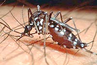 The mosquito responsible for dengue, Aedes aegypti. Internet photo.