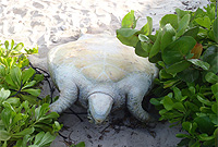 he nesting green turtle found near Sand Hole Road was turned on her back and tied up. She was later rescued by DoE officials.