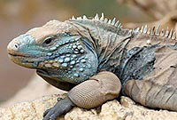 A healthy specimen of the  endangered Grand Cayman Blue Iguana