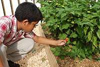 Stephen Eden, a member of the Red Bay Gardening Club, picking a scotch bonnet pepper from the garden.